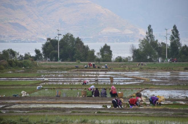 Women gossip and plant rice.
