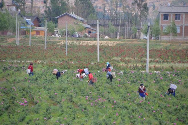 Women harvesting roses.