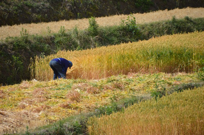 Harvesting by hand.