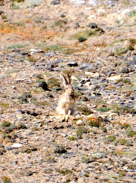 Alpine hares.