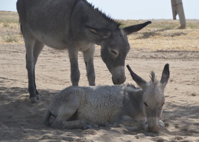 Donkeys feeling as hot as we were.